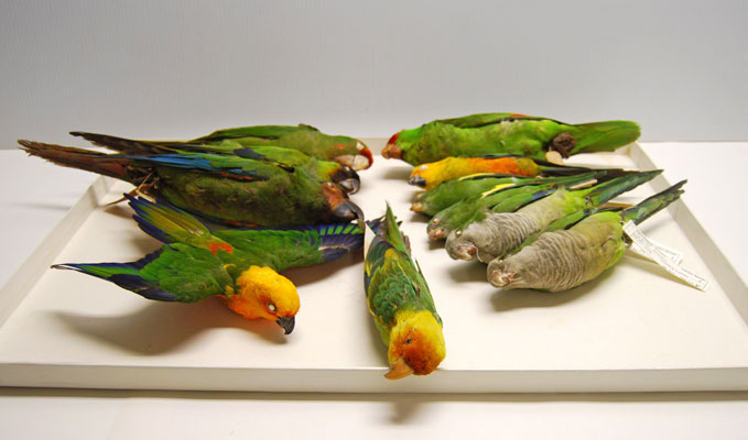 Carolina parakeet with other non-native parrots that have become ...